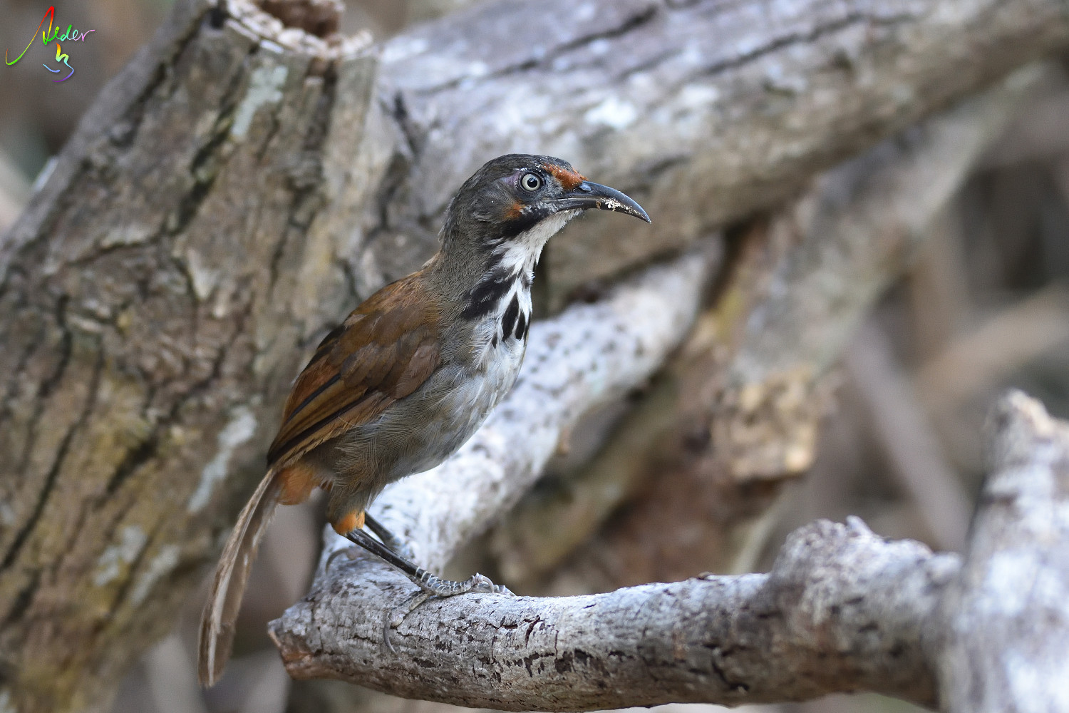 Rusty-cheeked_Scimitar_Babbler_4967