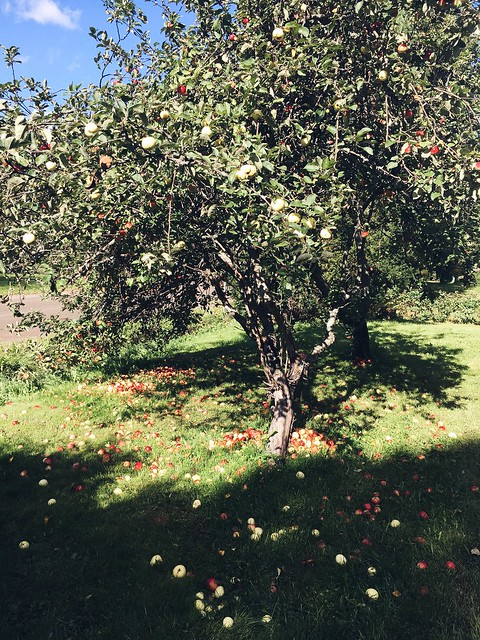 fall, syksy, autumn, suomi, finland, apple, apple tree, omenapuu, omena, sun, aurinko, pomia omenoita, pick out apples,