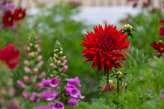 Dahlia in good company