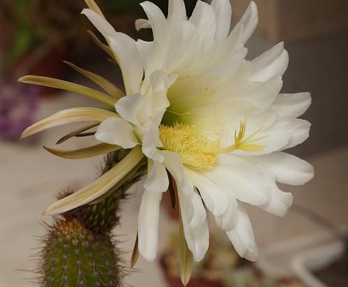 Echinopsis spachiana (= Trichocereus spachianus) 28331230242_d36198d682