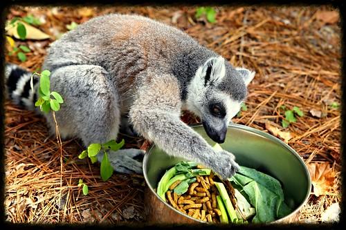duke lemur 3