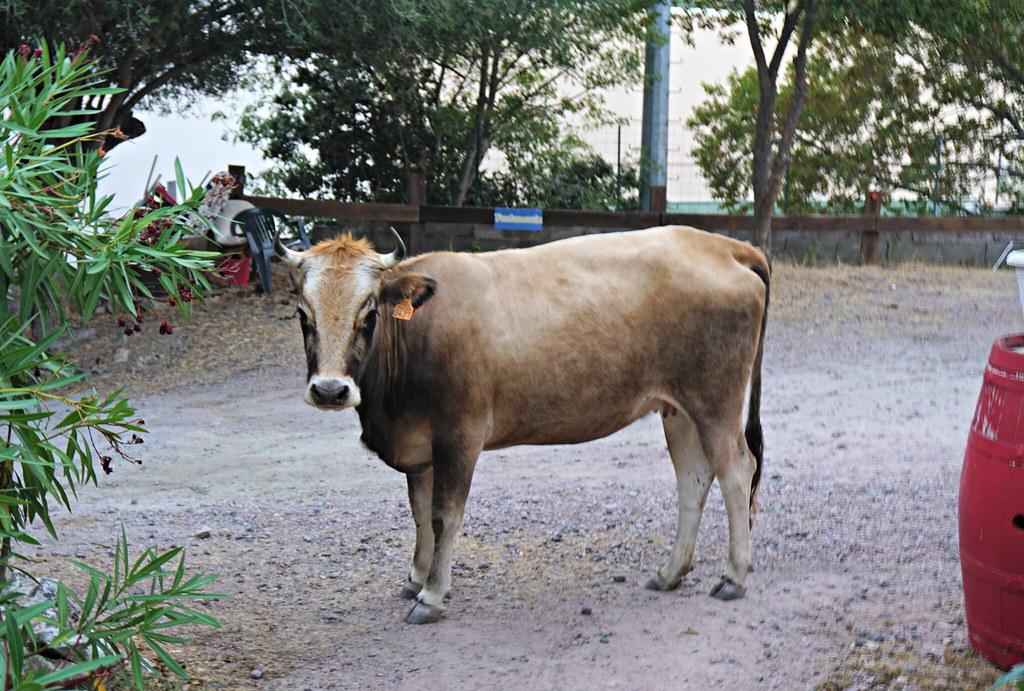 Lehmä parkkipaikalla