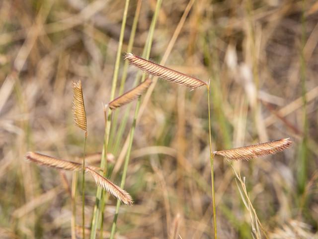 Blue gamma grass