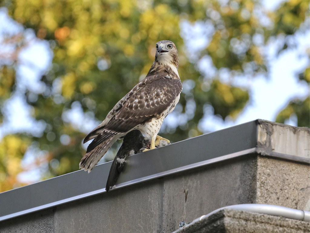 Fledgling hawk with pigeon