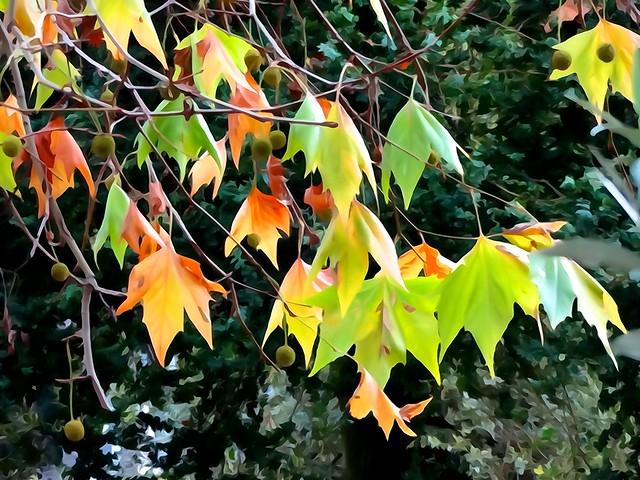 Leaves, fallen or not yet