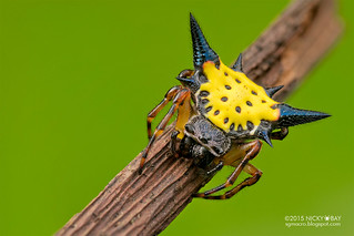 Spiny orb web spider (Gasteracantha hasselti) - DSC_7038