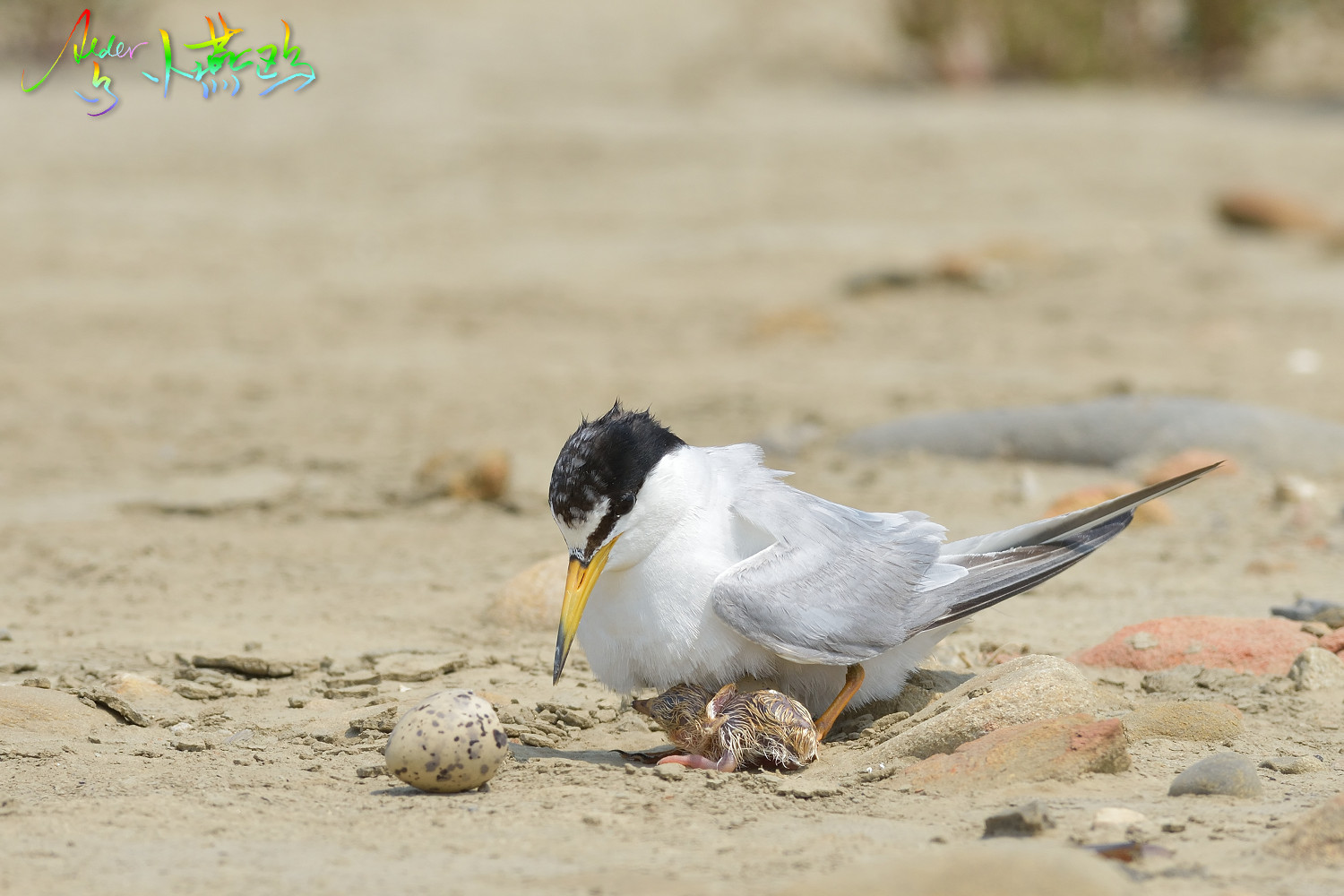 Little_Tern_5038