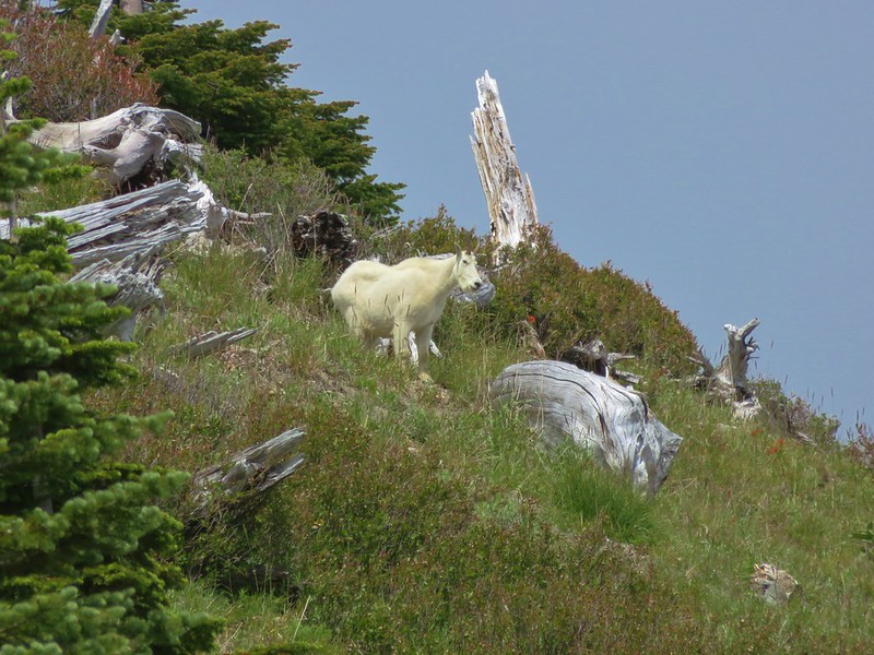 Mountain goat along the Boundary Trail