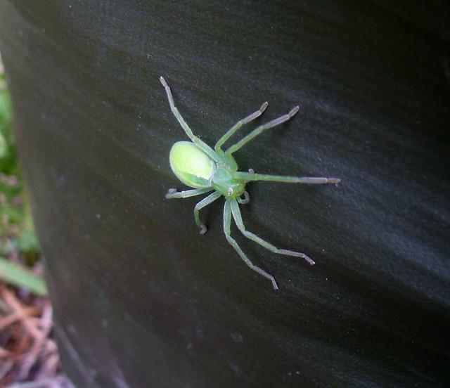 Maloočka smaragdová (Micrommata virescens)