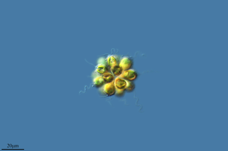Resultado de imagen de synura