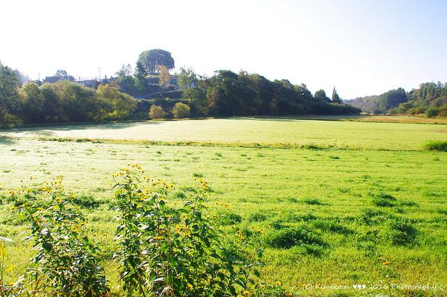 菊イモ咲く風景