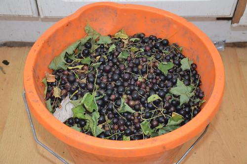 blackcurrants July 16