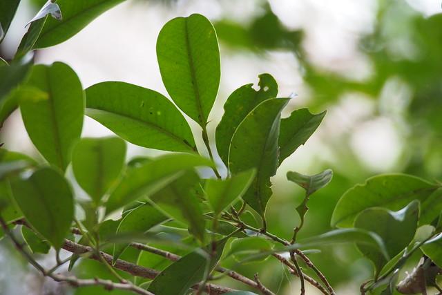 Sakaki (Cleyera japonica)