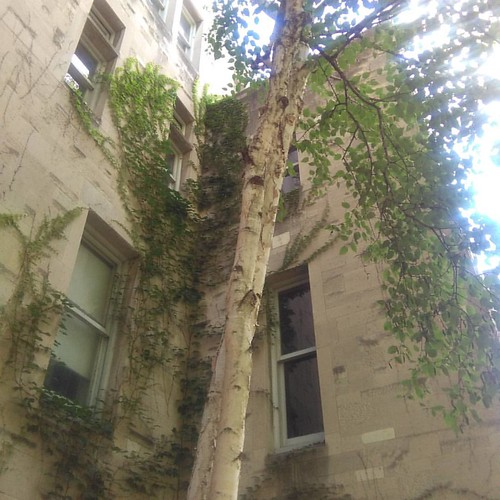 Birch in the corner #toronto #universityoftoronto #stmichaelscollege #birch #tree