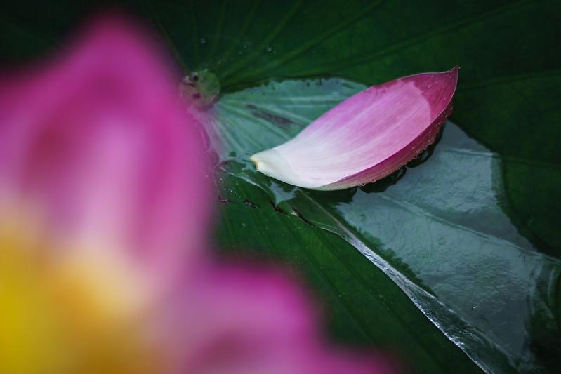 Lotus flower-7