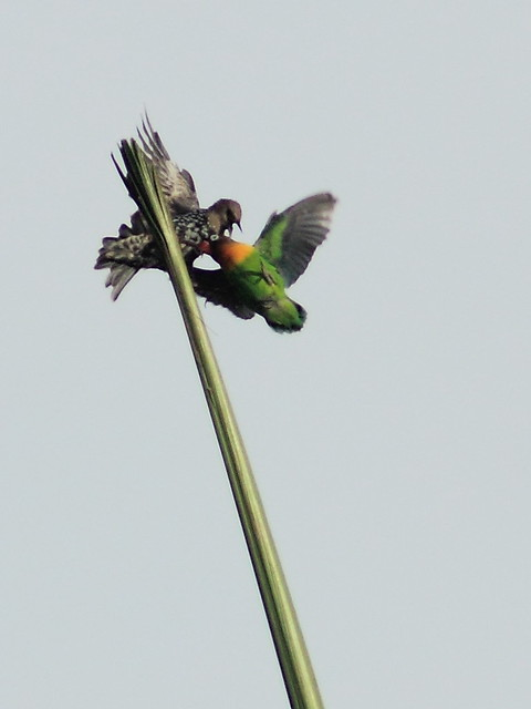 Yellow-collared Lovebird chased by starling 20160903