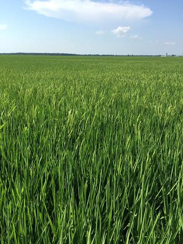 Rice-heading