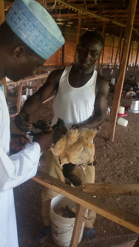 Fowl pox vaccine administration (photo credit: O. Bamidele / ILRI)