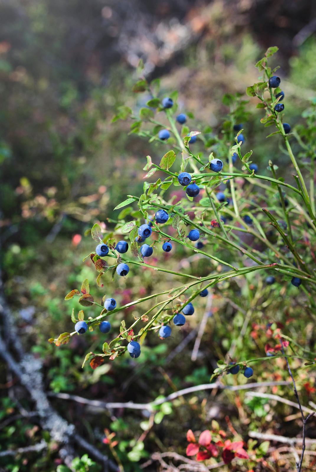 Blåbärsris fullt av stora blåbär - Evelinas Ekologiska