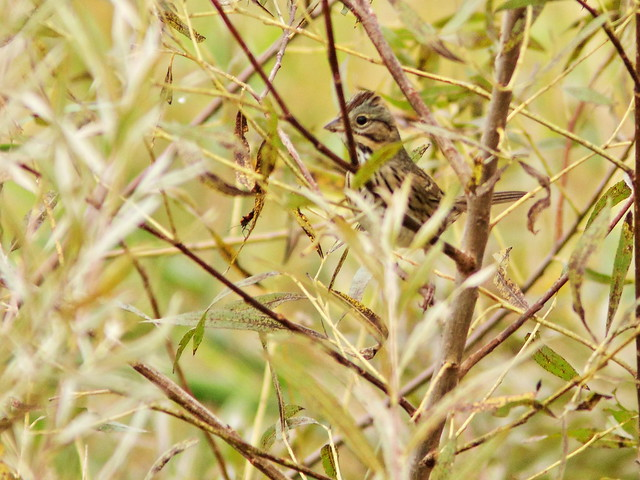 Lincoln's Sparrow 20161003