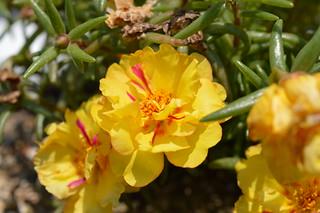 DSC_0086 Portulaca grandiflora ポーチュラカ 松葉牡丹