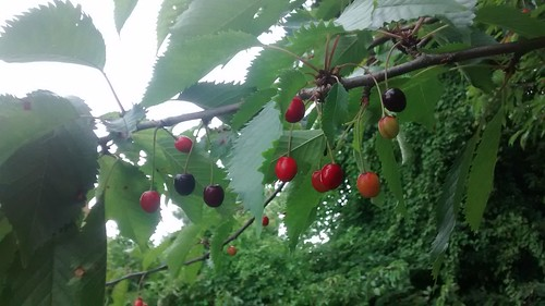 cherries Aug 16 (2)