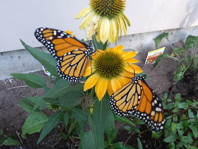 monarchs--20160728
