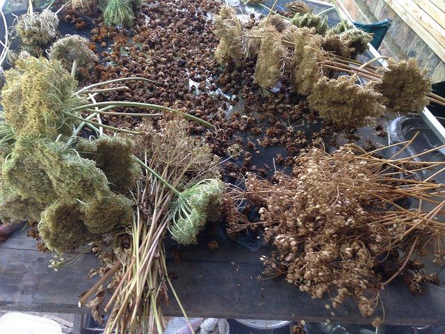 Drying parsnip and carrot seed