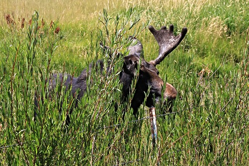 IMG_9168_Moose_in_Pinedale_WY