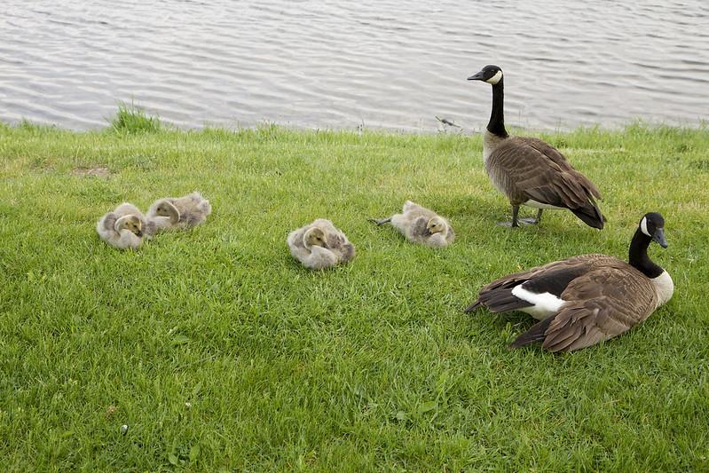 lyin' goslings