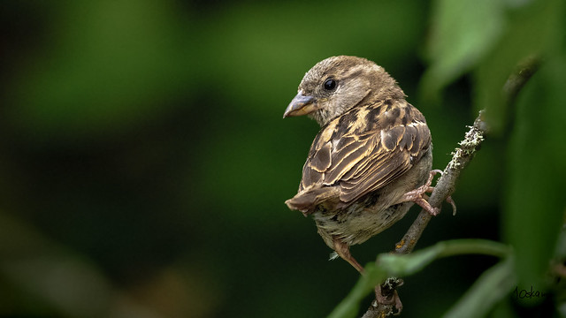 Juvenile Chipping Sparrow