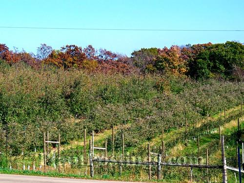 oakwood trees