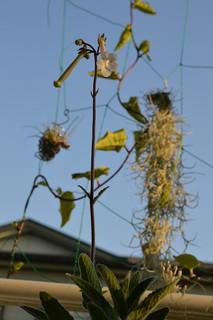 DSC_3736 Sinningia tubiflora シンニンギア 上海の女王 Hardy White Gloxinia