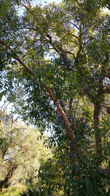 Hardenbergia climbing up jarrah tree