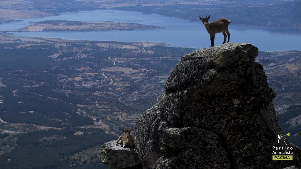 Cabras montesas en la Sierra de Guadarrama, Madrid