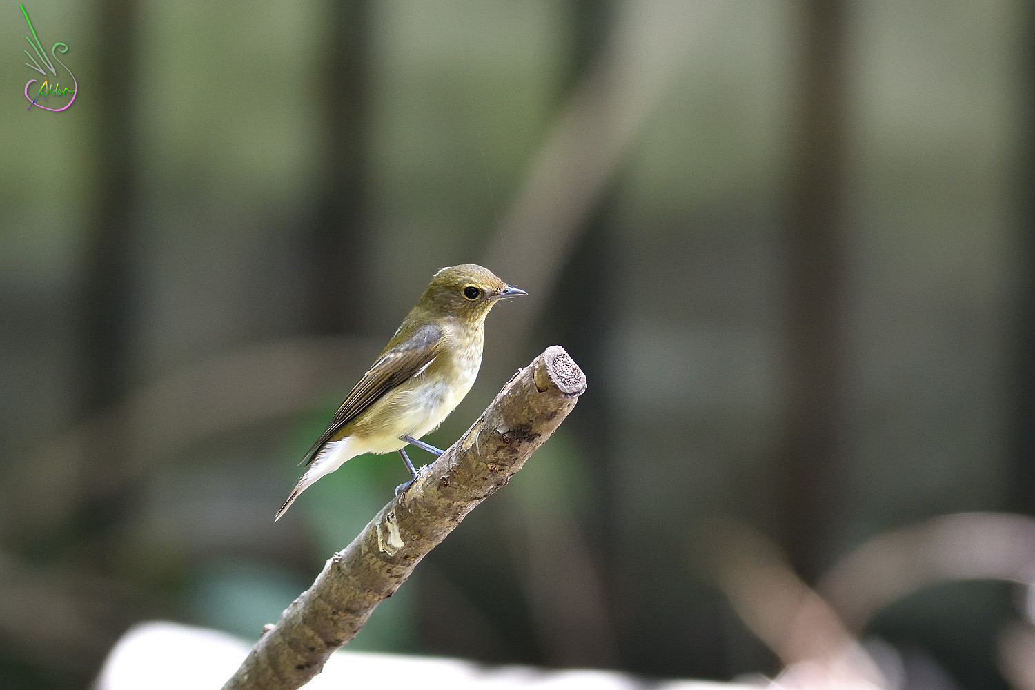 Narcissus_Flycatcher_8009