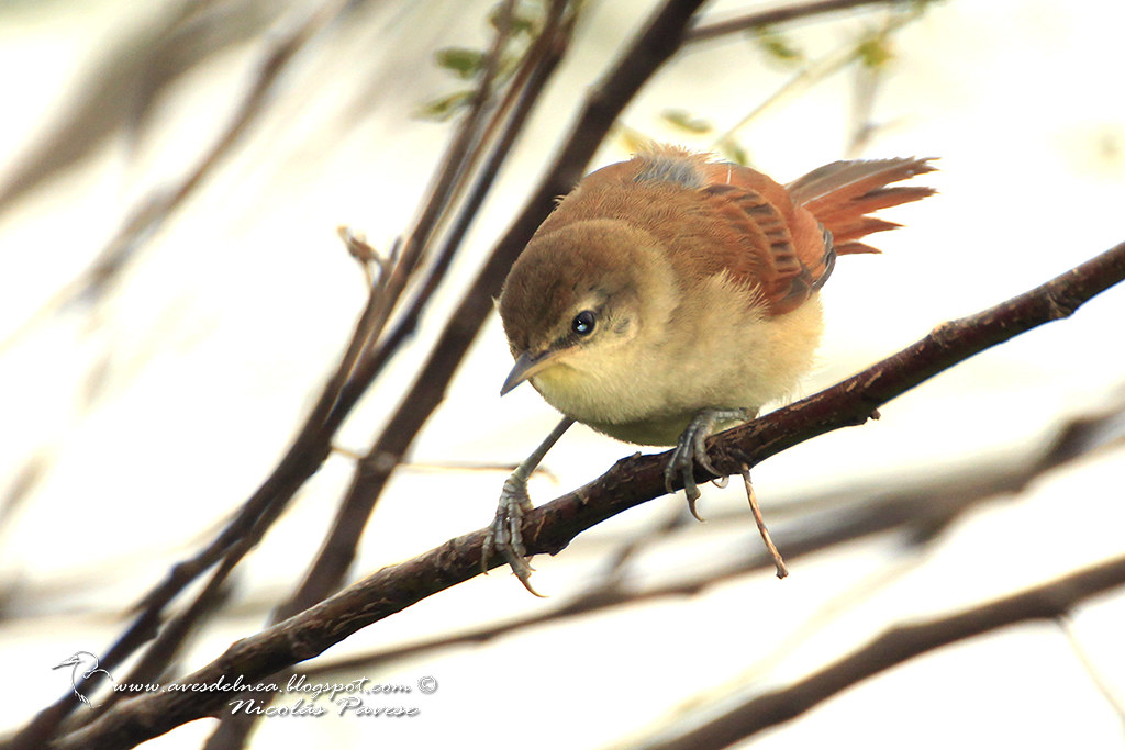 Curutié colorado (Yellow-throated Spinetail) Certhiaxis cinnamomea