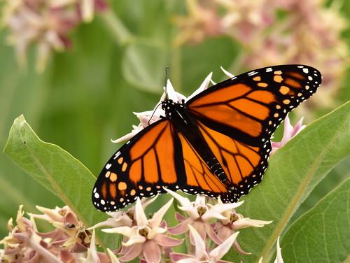 Monarch and Showy Milkweed on Seedskadee National Wildlife Refuge