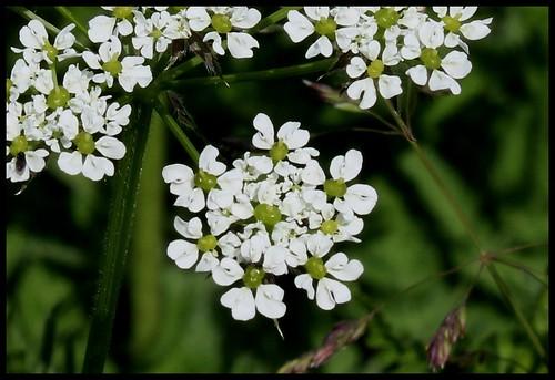 Chaerophyllum aureum (5) - Copie