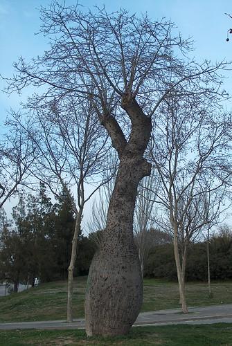 Ceiba speciosa (= Chorisia speciosa) 28246955722_e1da0f7ec2