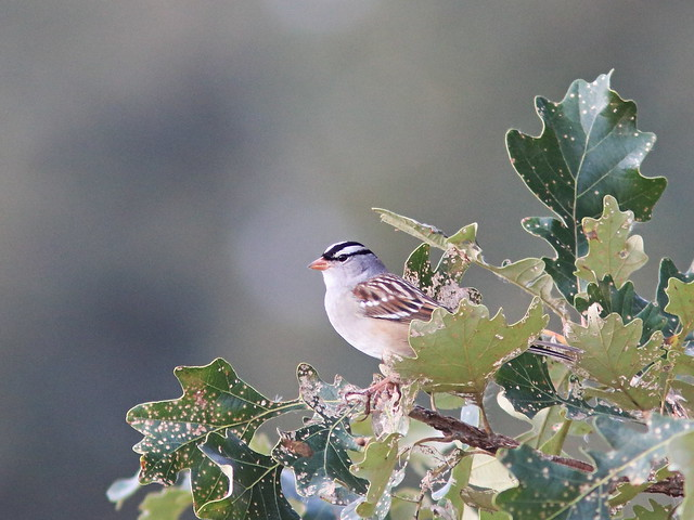 White-crowned Sparrow 20161005