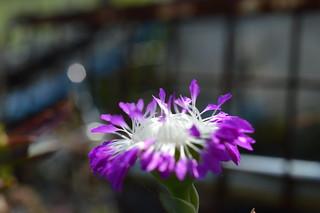 DSC_3158 Erepsia pillansii エレプシア ピランシイ 千歳菊