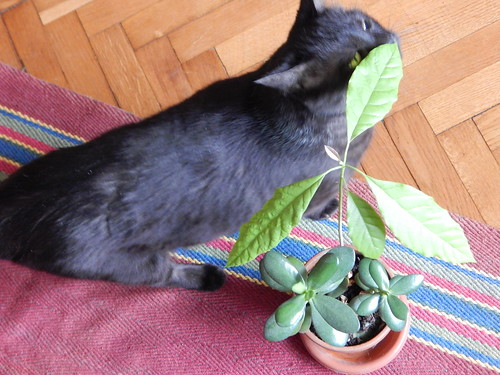авокадо и черный кот Муся