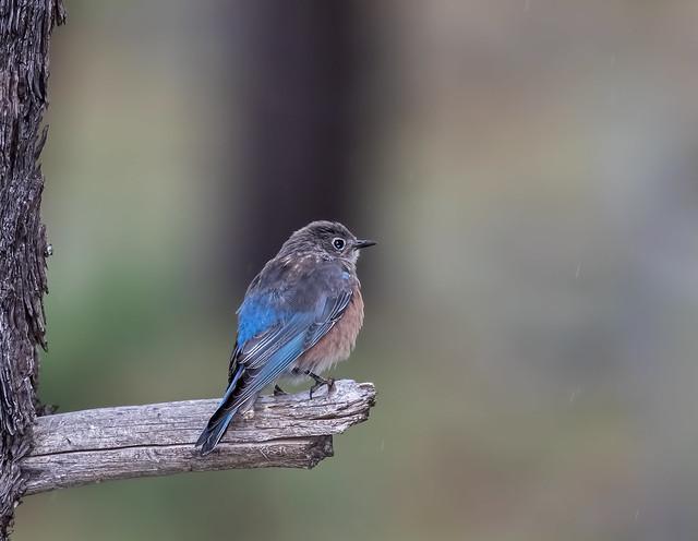 Western-Blue-Bird-3-7D2-020816