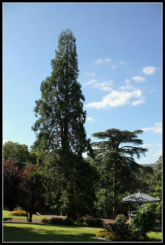 Sequoiadendron gigantea , cédres , vers le kiosque