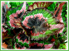 Begonia 'Merry Christmas' with lovely variegation, 16 March 2011