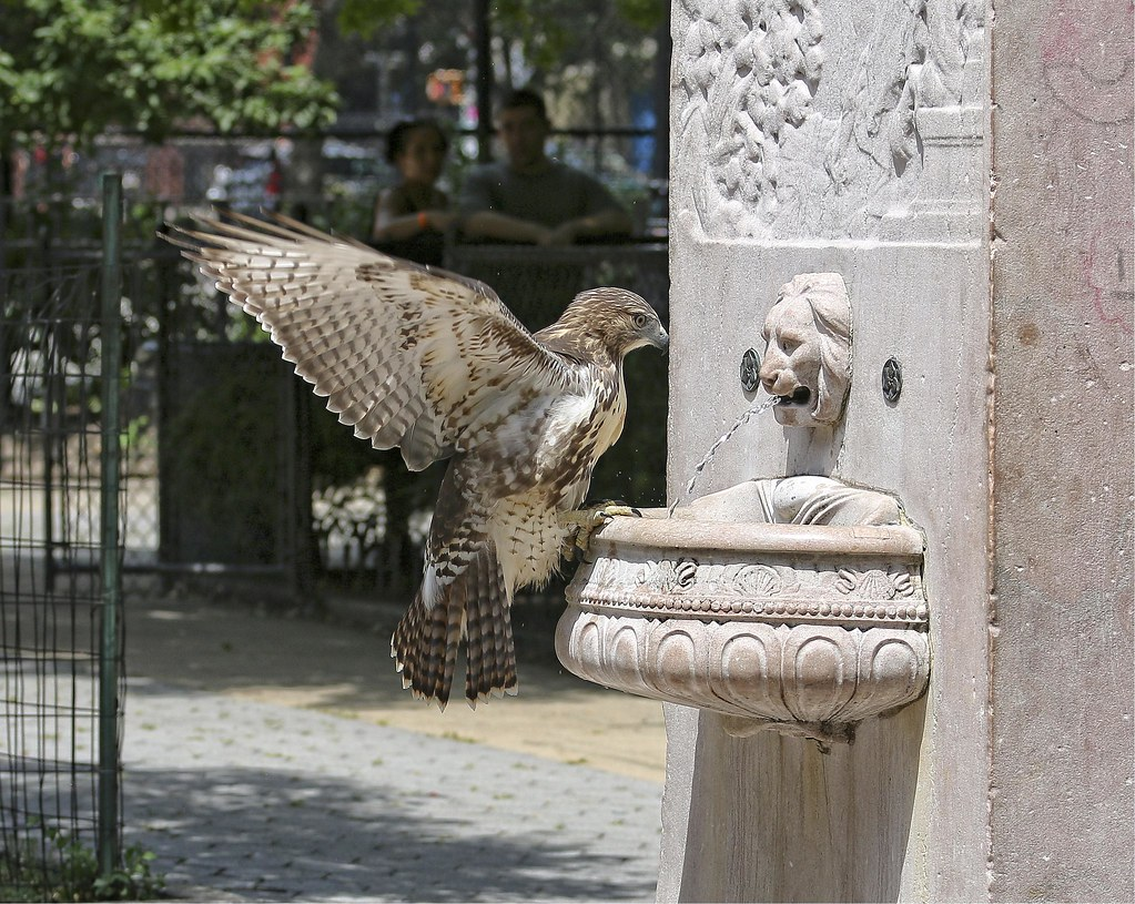 Fledgling hawk at the General Slocum memorial