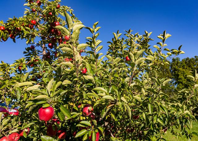 Rittman Orchard