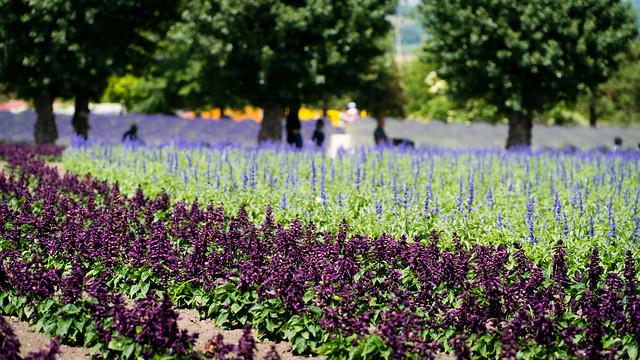 Flower field at Farm Tomita