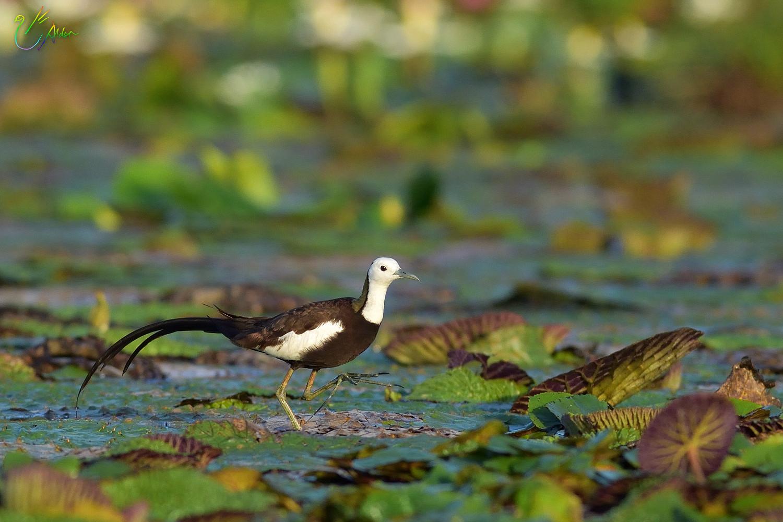 Pheasant-tailed_Jacana_2275